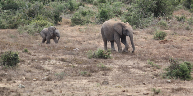 Baby elephant and adult