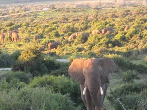 Elephants at Addo