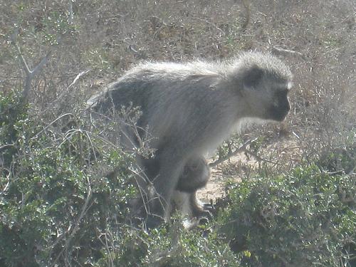 Vervet Monkey w/baby