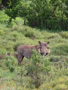 Pumbaa at Addo